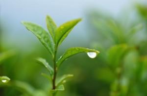 tea_leaf